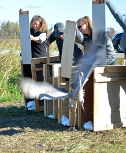 A rehabilitated sandhill crane is released back into the wild Oct. 24 near New London. Photo Submitted by The Feather Rehabiltation Center